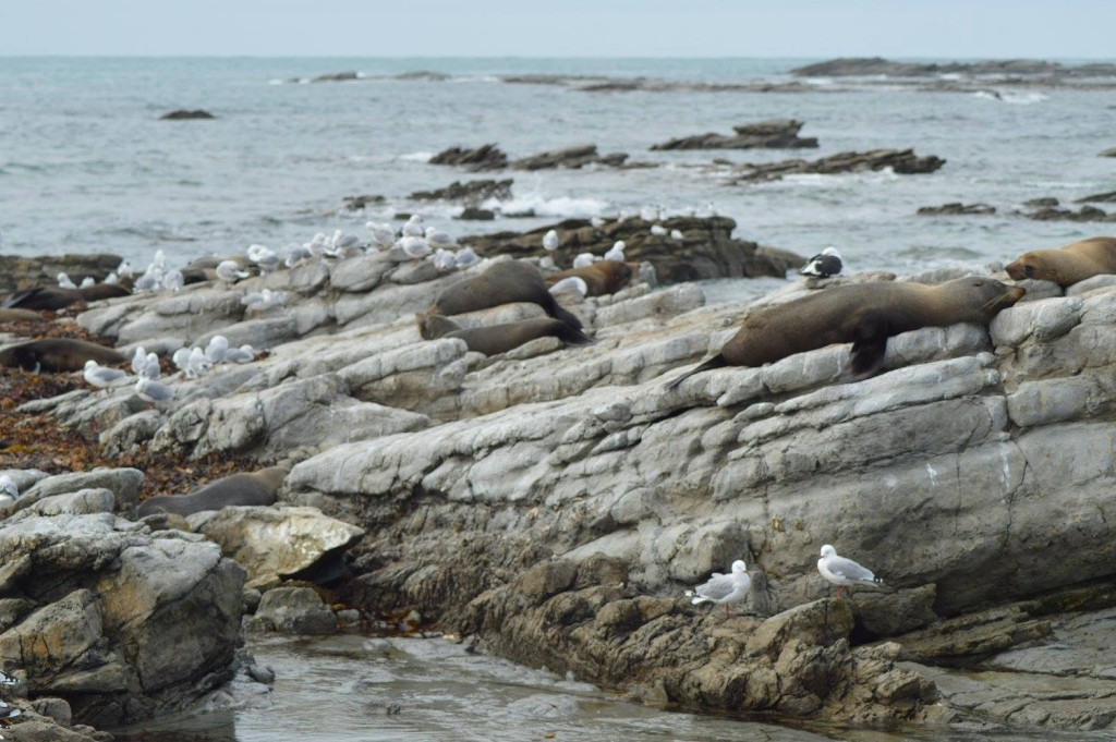 Kaikoura Seals
